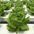 NFT Hydroponic For Lettuce Growing