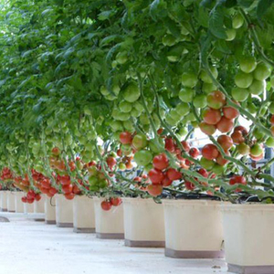 Dutch bucket system for tomato